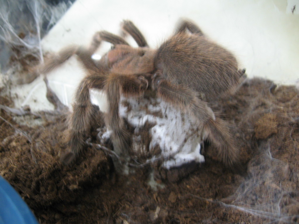 Rose hair tarantula egg sac - photo#3