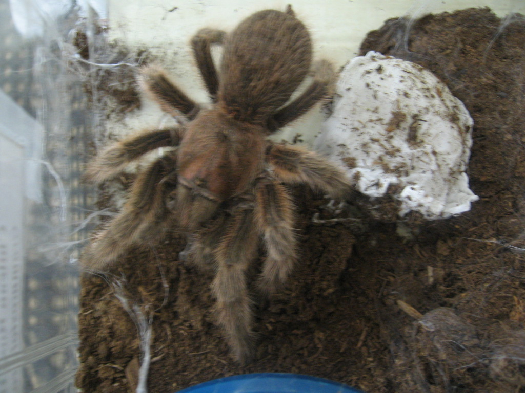 Rose hair tarantula egg sac - photo#2